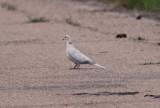 Eurasian-collared Dove