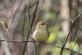Swainson's Warbler