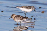 Least & Western Sandpipers