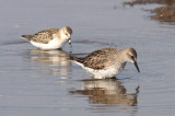 White-rumped & Semipalmated Sandpiper