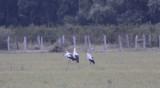 Maguari Storks