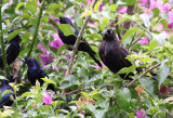 Giant & Shiny Cowbirds