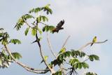 Orange-fronted Parakeets & Crested Oropendola