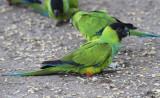 Black-hooded (Nanday)  Parakeets