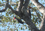Lineated Woodpeckers