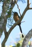 Amazonian  Motmot