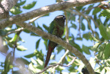 Blaze-winged Parakeet