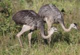 Greater Rheas