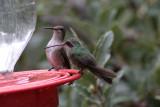 Black-chinned & Broad-billed Hummingbirds