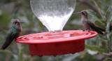 Broad-billed Hummingbirds