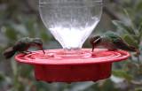 Broad-billed & White-eared Hummingbirds