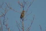 Chinese Grosbeak