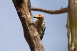 Golden-fonted Woodpecker