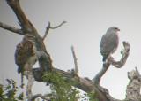Gray Hawks