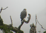 Gray Hawk  (adult)