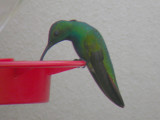 Green-breasted Mango