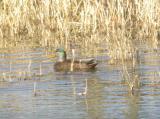 Mallard x AmericanBlack Duck hybrid