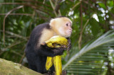 Capuchin White-Faced Monkey with bananas