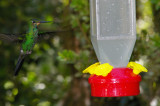 Humming Bird at Feeder, Monteverde, Costa Rica