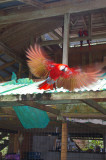 Scarlet Macaw Taking Off at The Osa Wildlife Sanctuary