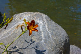 Lilly On Rock.