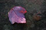 Red Leaf *.jpg