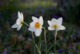 3 Daffodils *.jpg