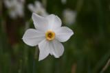 A Daffodill *.jpg