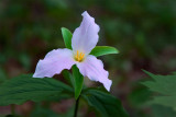 Spencer Lake Trillium *.jpg