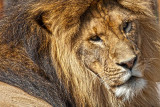 Lions Face.jpg