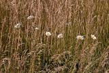 Eight Daisys.jpg