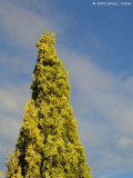 Conical Conifer