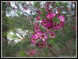 More Geraldton Wax