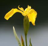 Yellow Flag (Iris pseudacorus)