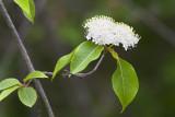 Nannyberry (Viburnium lentago)