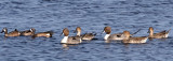 N. Pintails and Blue-wing Teal