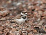 Killdeer fledgling, Myers Point