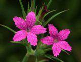 Deptford Pinks (Dianthus armeria)