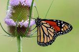 Monarch and Teasel (Dipsacus fullonum)