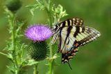 Tiger Swallowtail on Bull Thistle (Cirsium vulgare)