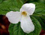 White Trillium (Trillium grandiflorum) with dewdrops