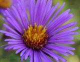 New England Aster (Symphyotrichum novae-angliae - formerly Aster novae-angliae)