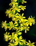 Goldenrod (Solidago sp.)