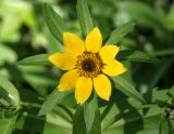 Bur-marigold (Bidens cernua)