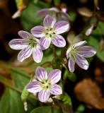 Spring Beauties (Claytonia virginia)