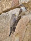 Crag Martin (adult and juvenile)