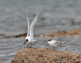 Sandwich Terns (adult and juvenile)