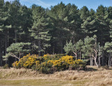 Tentsmuir forest edge
