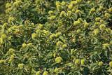 Sweet chestnut Castanea sativa pravi kostanj_MG_1401-1.jpg