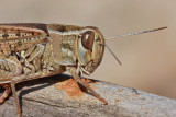 Italian locust Calliptamus italicus la¹ka kobilica_MG_9592-1.jpg